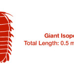 Why isn't the Giant Isopod larger?