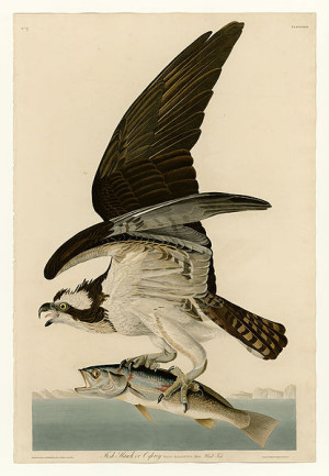 Osprey in flight with it's piscine cargo.  Painting by John. J. Audubon, circa 1838.
