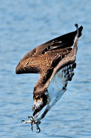 An Osprey about to score.  Go team!  Image by Graham Owen Photography.