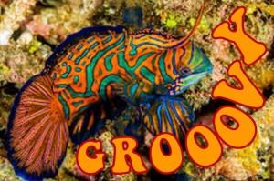 Mandarinfish 2B
