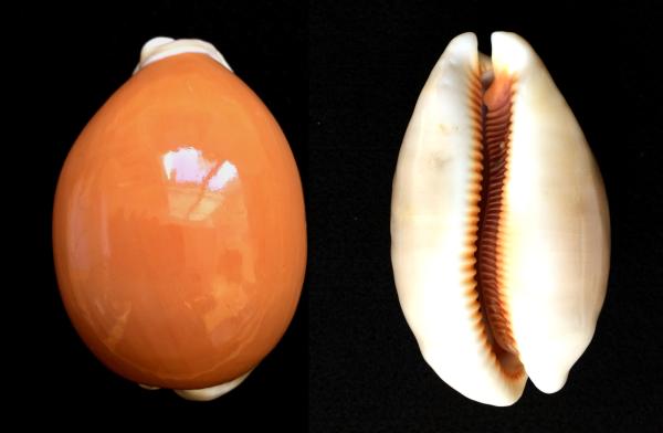 MM Lyncina aurantium Golden Cowrie Samar Philippines 3.jpg
