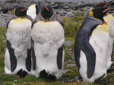 The awkward state of penguin molting | Deep Sea News