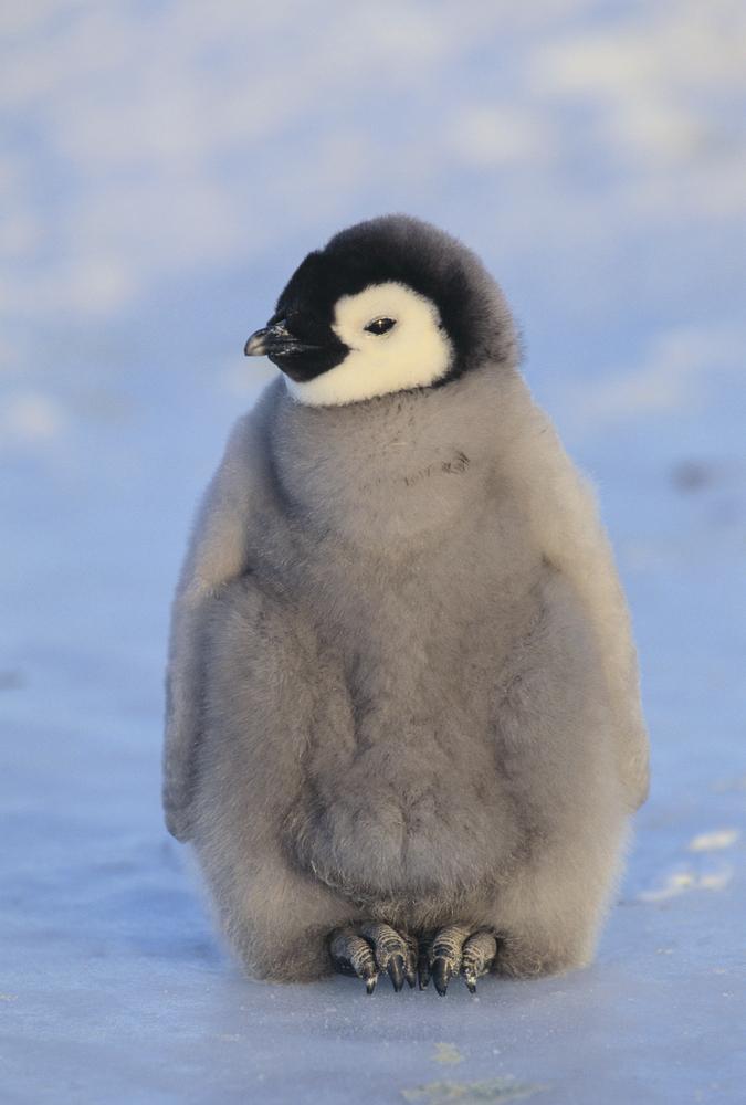 Королевские пингвины фото своими руками