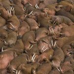 All Walrus. All the time.