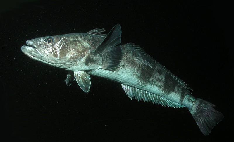 Rob_Robbins_Antarctic_toothfish1_1_N