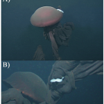 Rare Giant Jellyfish Caught on Video