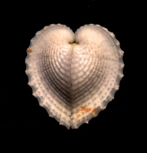 True Heart Cockle2