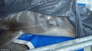 Shadow the Bottlenose Dolphin, post-rave and pre-necropsy. Photo from Europics.