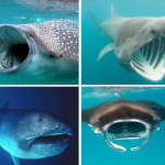Before Giant Plankton-Feeding Sharks, there were Giant Plankton-Feeding Sharks.