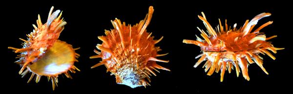 Spondylus folaceus