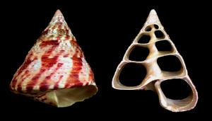 Tectus niloticus