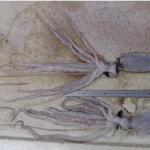 Baby Giant Squids