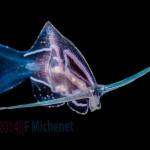 Meet Phylliroe: the sea slug that looks and swims like a fish