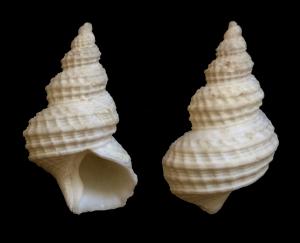 Trichotropis cancellata