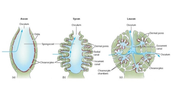 zoology-phylum-porifera-5-638