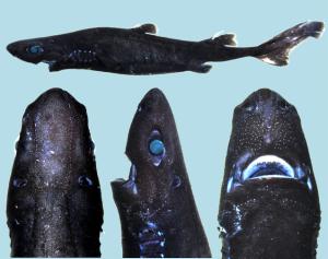 FINAL Etmopterus benchleyi paratype
