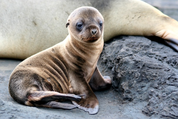 Galapagos_sealion_pup