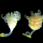 New Research Reveals How to Easily Grow Jellyfish In Captivity