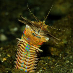 This marine worm is called the Sand Striker